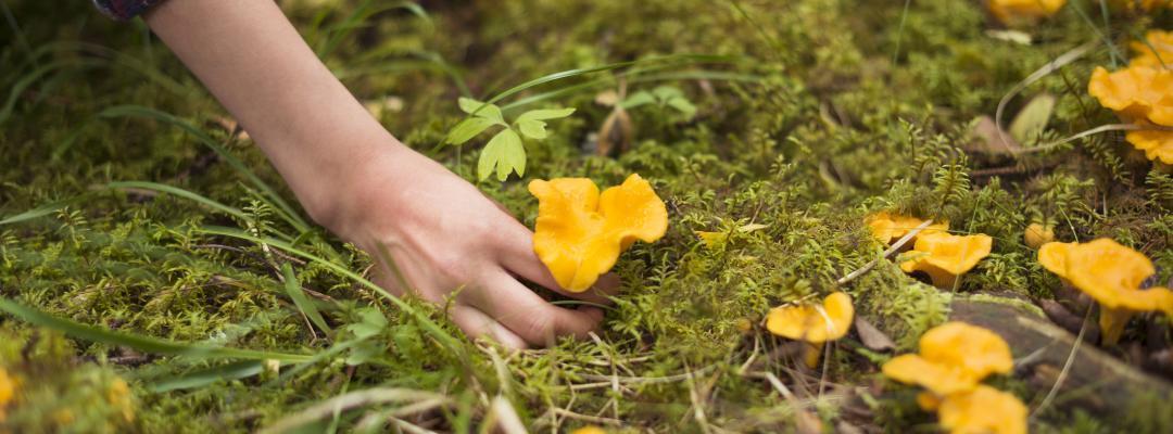 Person plockar kantareller i skogen.
